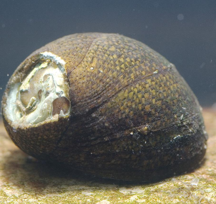 石巻貝の画像