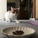 キャットフードに興味を示した猫