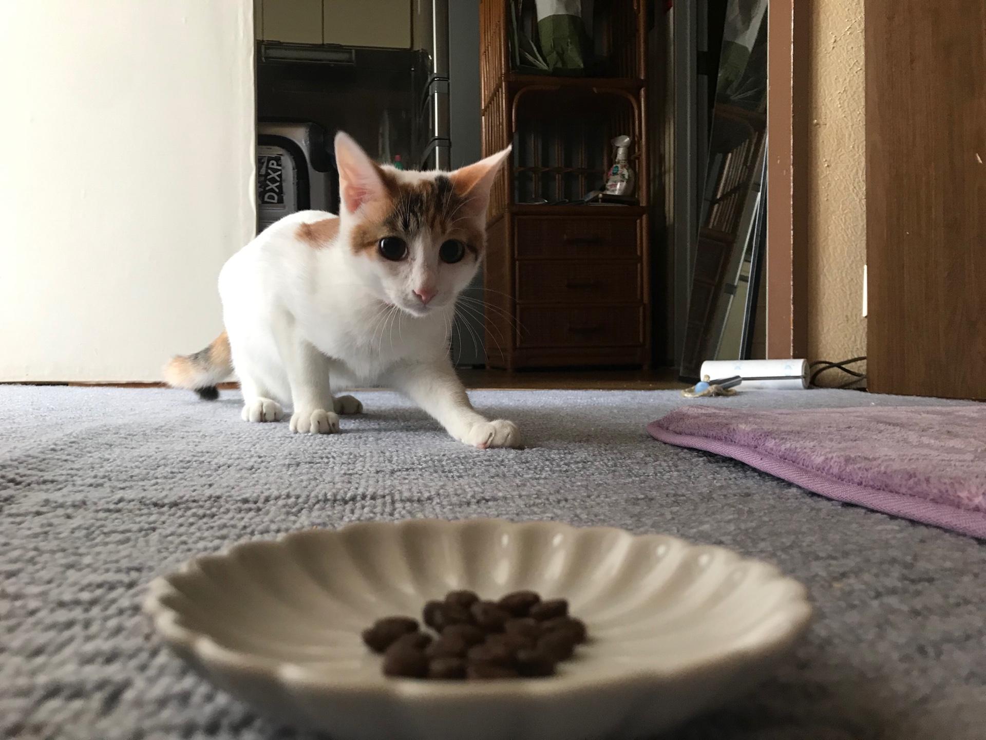 うちの猫に人気なキャットフードランキング!一番よく食べたドライフードのおすすめはコレ!